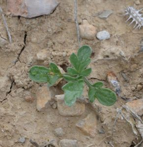 Ambrosia psilostachya ©OA